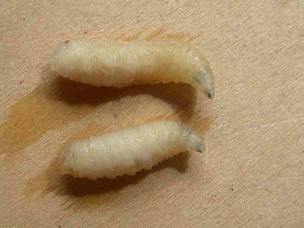 シリアカニクバエ幼虫
